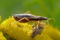 Kortvinget nymfetæge (Nabis flavomarginatus) - Set på diget i september  med bytte på Rejnfan