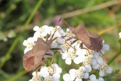 Skræppetæge (Coreus marginatus) - Set i plantagen i august på Alm. Røllike
