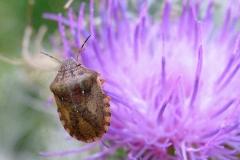 Starskjoldtæge (Eurygaster testudinaria) - Set i plantagen i august på Tidsel