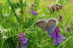 Isblåfugl er blandt de truede arter - ses i plantagen
