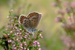 Argusblåfugl er blandt de truede arter - ses på diget