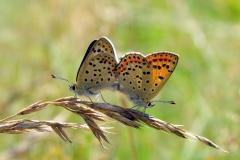 Sort ildfugl er blandt de truede arter - ses både på diget og i plantagen